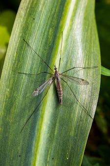 Dipterous. voe espécies em seu ambiente natural.