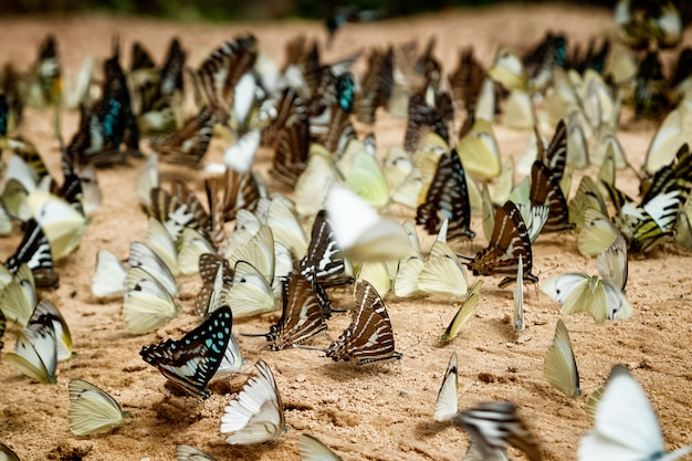 Diversidade de espécies de borboleta, borboleta comendo sal lambe no chão
