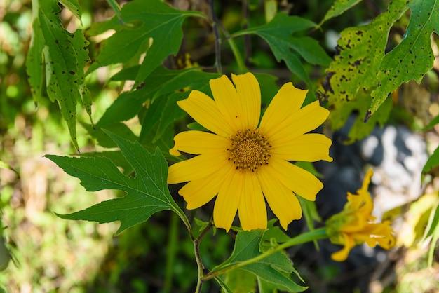 Diversifolia de tithonia ou girassol mexicano ou girassol japonês com fundo do céu azul. nome tailandês