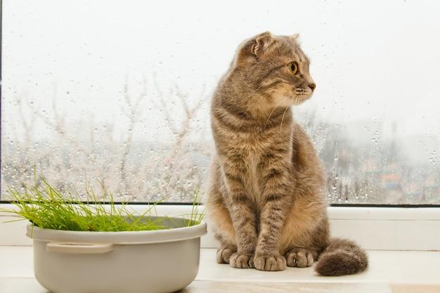Dobre gato escocês sentado no peitoril da janela