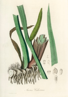 Doce bandeira (acorus calamus) ilustração de medical botany (1836)