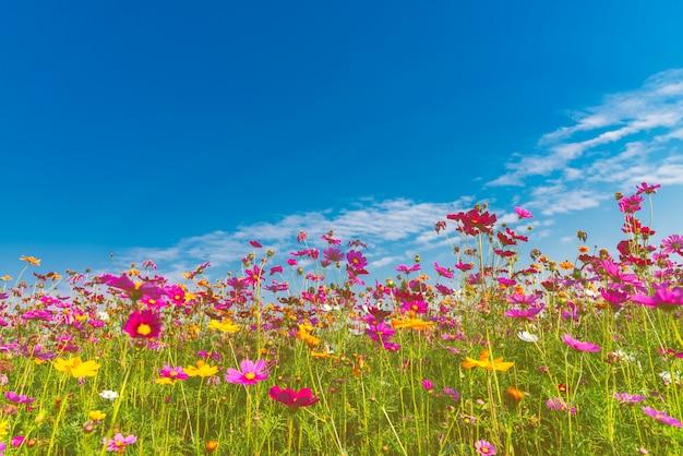 Doce colorido da flor do cosmos com céu azul e as nuvens brancas.