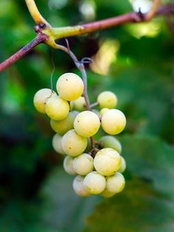 Doce e saboroso cacho de uva branca na videira