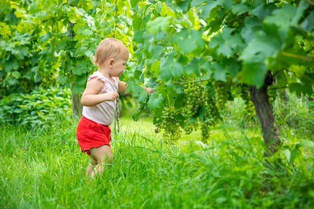 Doce garotinha colhendo uvas maduras frescas em um lindo jardim de videiras ensolarado de verão em praga cze.