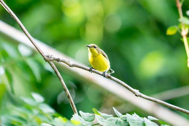 Doce pássaro, olive, sunbird, na manhã do verão.