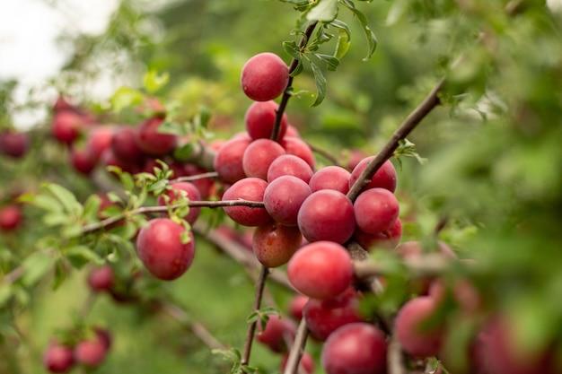 Doces e deliciosas ameixas vermelhas crescendo nos galhos das árvores