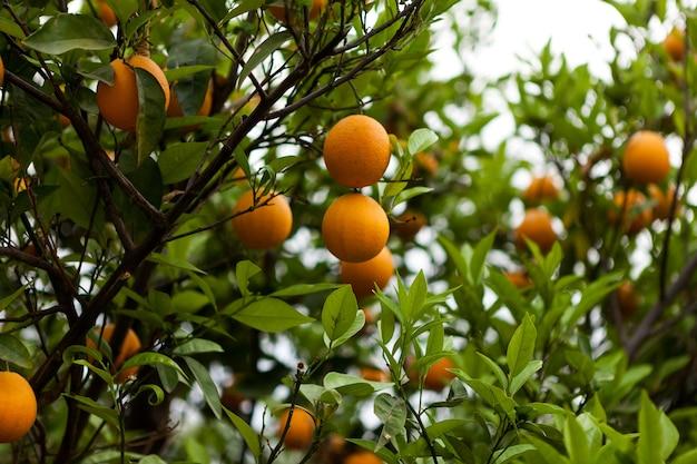 Doces tangerinas maduras em uma árvore. frutas cítricas frescas, fruticultura, agricultura orgânica.