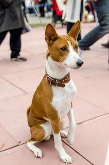 Dog basenji. passeio de outono com o cachorro no parque. cão basenji na coleira. retrato.