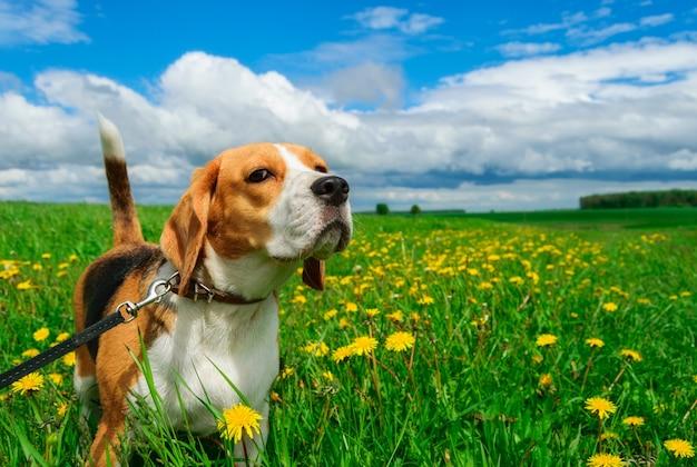 Dog beagle em um dia de verão no campo com flores amarelas