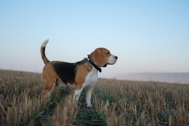 Dog beagle em uma caminhada em uma manhã de outono ao amanhecer no meio do nevoeiro