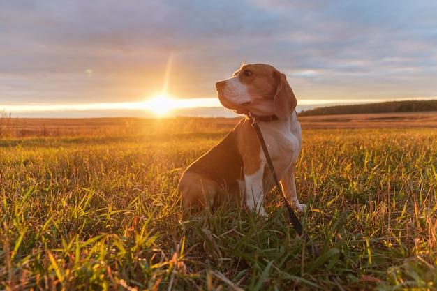 Dog beagle em uma caminhada sob os raios brilhantes do pôr do sol de outono