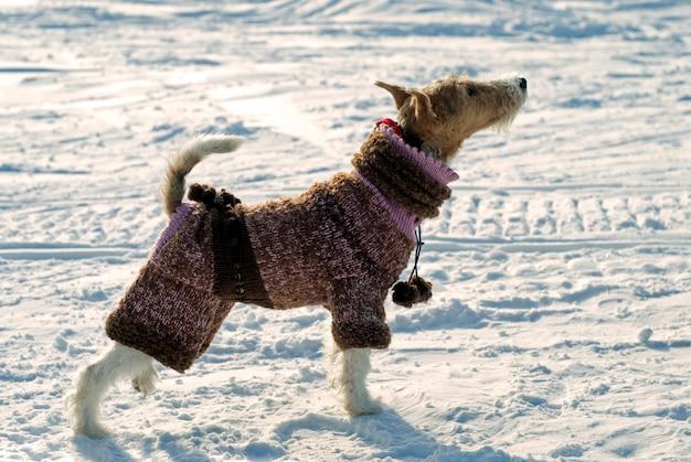 Doggy fox terrier com um macacão de lã tricotada de pé na neve e olhando para cima