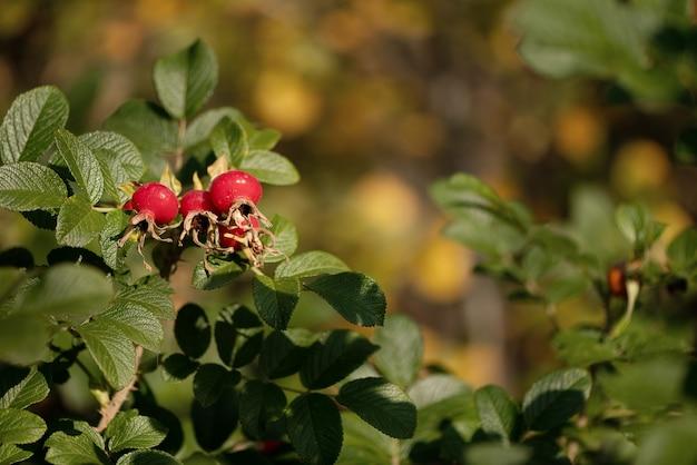 Dogrose bush com folhas verdes e frutos vermelhos maduros sob os raios do sol da tarde