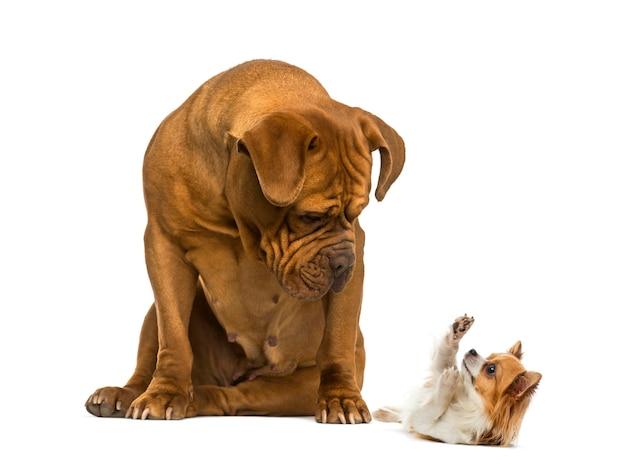 Dogue de bordeaux sentado e olhando para um chihuahua na frente de um branco
