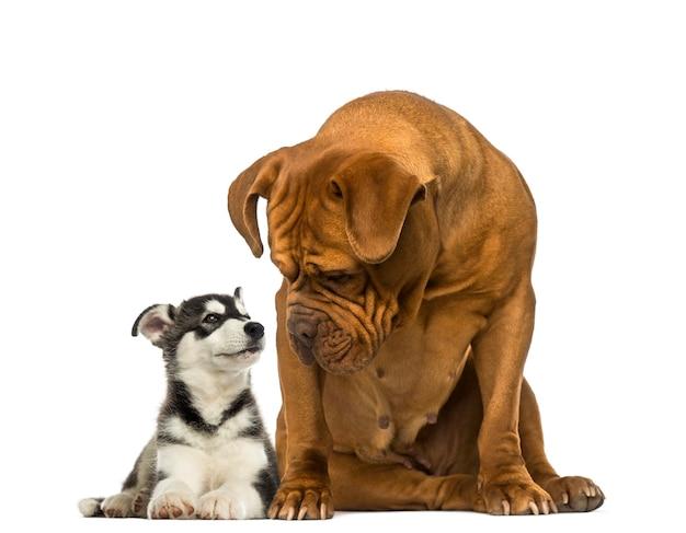 Dogue de bordeaux sentado e olhando para um malamute husky