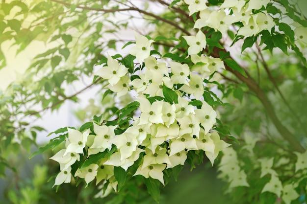 Dogwood branco suave floresce sob a luz do sol. arbusto em flor. foco seletivo.