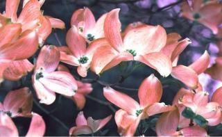 Dogwood em flor