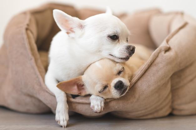 Dois adoráveis, bonitos e bonitos da raça doméstica mamífero chihuahua filhotes amigos deitado, relaxando na cama do cão. animais de estimação descansando, dormindo juntos. retrato patético e emocional. foto de pai e filha.