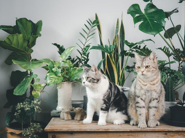 Dois adoráveis gatos felizes em pé sobre uma mesa de madeira no interior de um quarto branco com planta de casa, monstera, philodendron, ficus lyrata, planta cobra e betel manchado