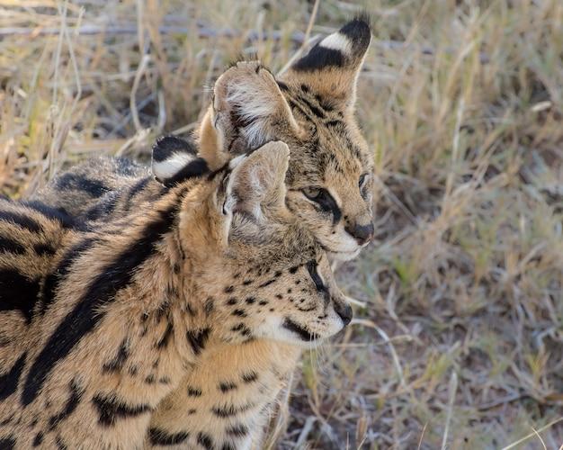 Dois afetuosos gatos serval adultos, retrato