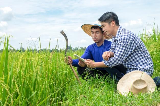 Dois agricultores asiáticos masculinos estão ajoelhados olhando tablet smartphone em campos de arroz verde, céu azul claro.