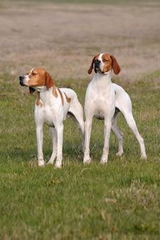 Dois, alemão, shorthaired, ponteiro, cachorros
