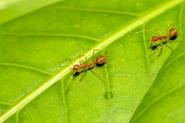 Dois ant caminhada vermelha na folha verde na natureza