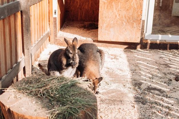 Dois bebês cangurus estão em um paddock perto de um palheiro. os mamíferos vivem no zoológico da família.