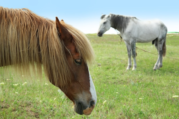 Dois belos cavalos no prado, closeup