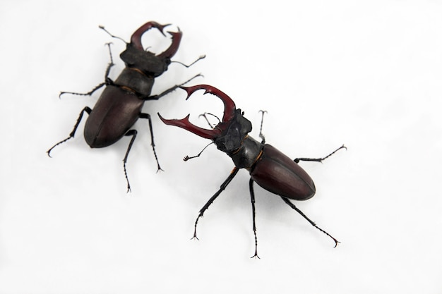 Dois besouros machos veados isolados