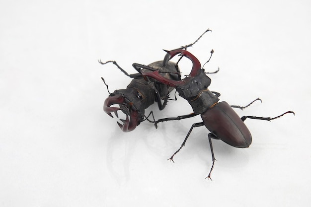 Dois besouros machos