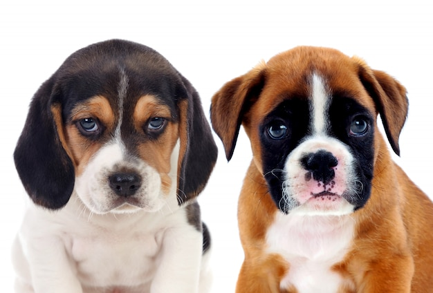 Dois, bonito, beagle, filhotes cachorro