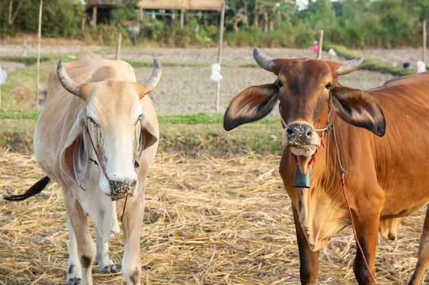 Dois, branca, e, vaca marrom, ligado, campo