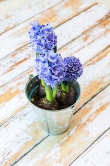 Dois bulbos de jacinto azul florescendo em uma linda panela de metal
