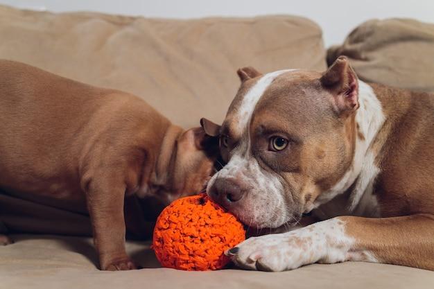 Dois cachorrinho de valentão fofo e valentão no sofá em casa.