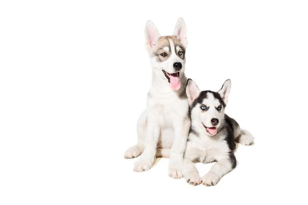 Dois cachorrinho fofo de cão husky siberiano com olhos azuis isolados. cachorrinhos lindos