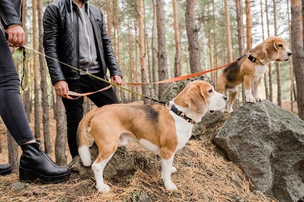 Dois cachorrinhos beagle fofos com coleiras e trelas artesanais em pé sobre pedras na floresta durante o friozinho com os donos