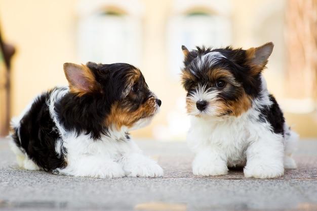 Dois cachorrinhos de yorkshire terrier no chão