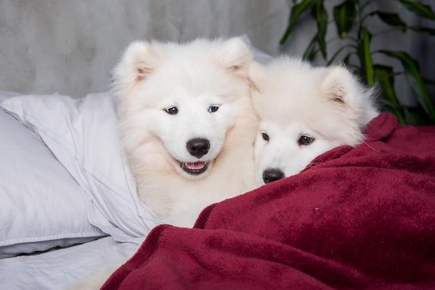 Dois cachorrinhos engraçados de cachorro samoiedo branco fofinho na cama vermelha no quarto