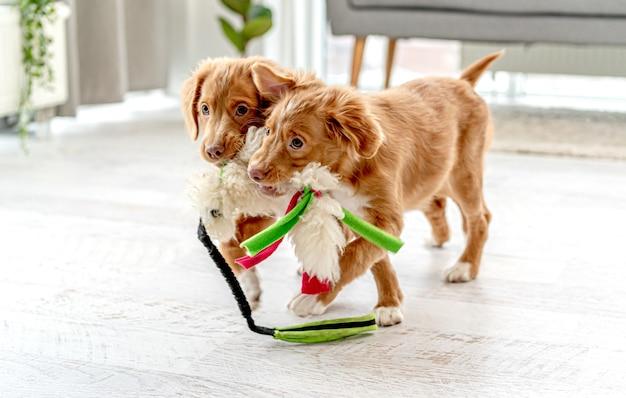 Dois cachorrinhos mordendo um brinquedo macio em casa