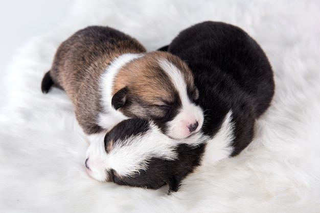 Dois cachorrinhos pembroke welsh corgi em branco