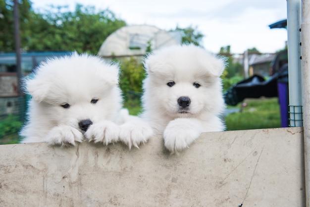 Dois cachorrinhos samoiedos brancos espreitando da cerca