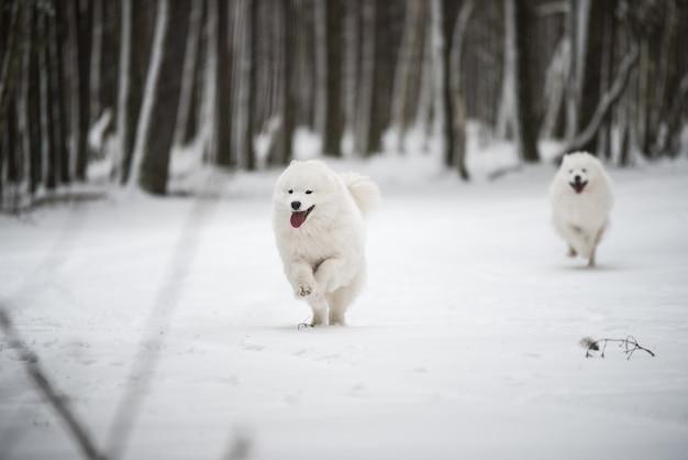 Dois cachorros brancos samoyed correndo na neve lá fora