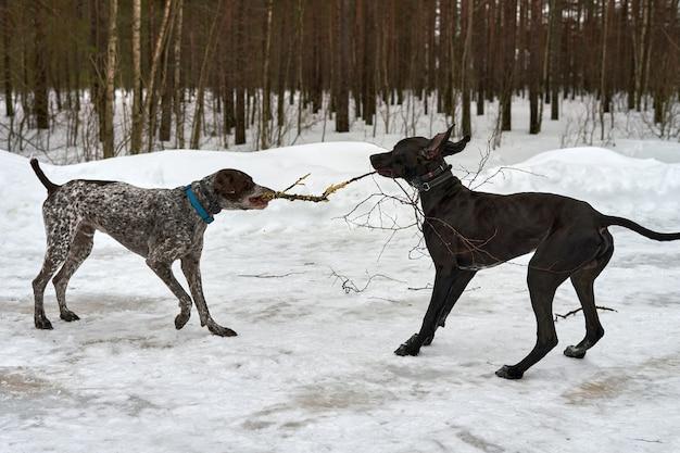 Dois cachorros brincam com um galho de árvore enquanto caminham