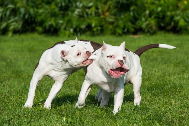 Dois cachorros de cachorro white american bully estão brincando em movimento na natureza na grama verde.