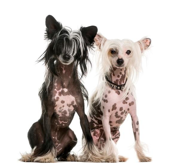 Dois cachorros de crista chineses sentados em frente a uma parede branca
