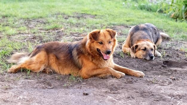 Dois cachorros deitam no jardim e olham cuidadosamente para a frente