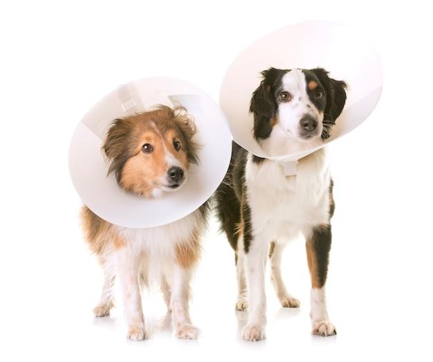 Dois cachorros e coleira protetora