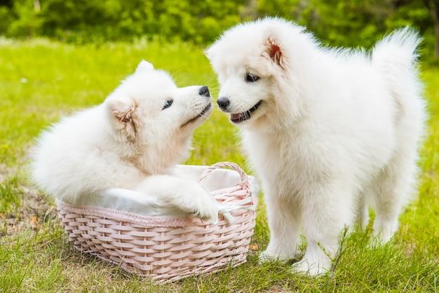 Dois cachorros engraçados do samoyed na cesta na grama verde