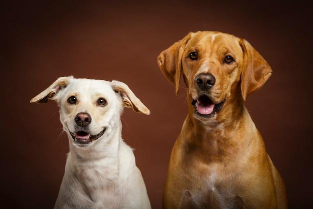 Dois cachorros expressivos posando no estúdio contra um fundo marrom